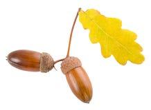 橡子叶子橡木黄色 库存图片