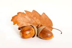 橡子叶子橡木 免版税图库摄影