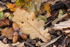 橡子和一片干燥橡木叶子 库存图片