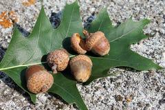 橡子和橡木叶子沼泽 免版税库存图片
