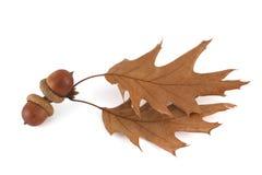 橡子和橡木叶子 免版税库存照片