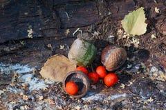 橡子和红色荚莲属的植物在老吠声说谎 免版税库存图片