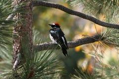 橡子啄木鸟 库存照片