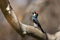 橡子啄木鸟 免版税图库摄影