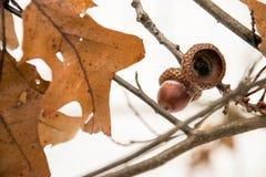 橡子在冬天森林里 库存图片