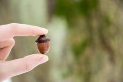 橡子在手中,冬天森林 库存图片