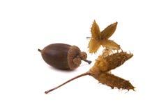 橡子山毛榉种子 免版税库存照片