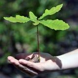 橡子生长小的强大橡木 免版税库存照片