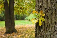 橡子秋天横向 免版税库存照片