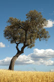 橡子结构树和蓝色多云天空 免版税图库摄影