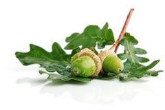 橡子结果实绿色叶子三 库存图片