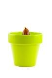 橡子黏土绿色橡木罐发芽 库存照片