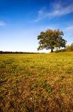 橡木。 秋天 图库摄影