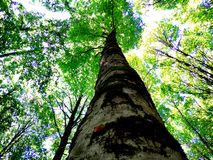 橡木一个美丽的森林  库存照片