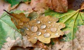 橡木下落的叶子在露水下落的  特写镜头 免版税库存照片