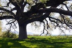 橡木世俗结构树 免版税库存照片