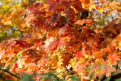 橡木五颜六色的叶子 免版税库存图片