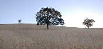 橡木全景结构树 免版税库存照片
