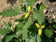 橡木分支橡子在叶子中增长并且成熟 克里米亚 图库摄影