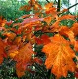 橡木分支的秋天外套 免版税库存照片