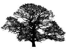 橡木剪影冬天 免版税图库摄影