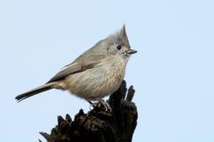 橡木北美山雀 库存照片