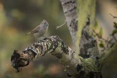 橡木北美山雀 免版税图库摄影