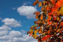 橡木反对背景的秋叶 库存图片