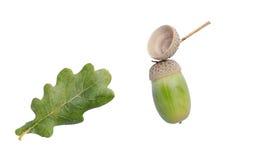 橡木叶子和橡子 图库摄影