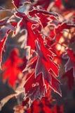 橡木叶子和草与树冰 库存图片