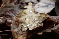 橡木叶子和露水 免版税库存照片