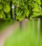 年轻橡木叶子在公园 库存图片
