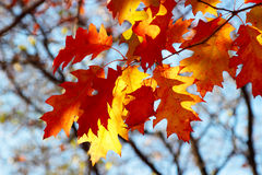 橡木叶子在后面光的秋天 免版税图库摄影
