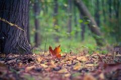 橡木叶子在秋天森林里 库存图片