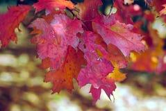 橡木叶子在红色的秋天 库存图片