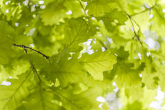 橡木叶子在阳光下 库存图片