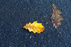 橡木叶子的宏观美丽的照片 库存图片