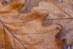 橡木叶子纹理,秋天概念 免版税库存图片