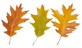 橡木叶子 秋天 免版税库存图片
