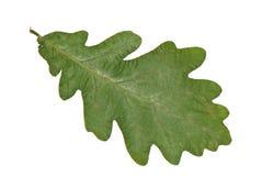 橡木叶子 免版税库存照片