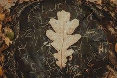 橡木叶子 库存照片
