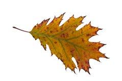 橡木叶子 图库摄影