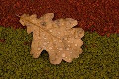 橡木叶子 免版税库存图片