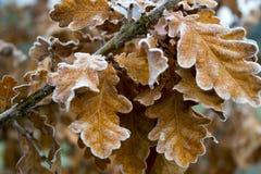 冻橡木叶子 库存照片