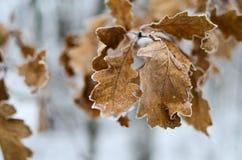 冻橡木叶子 库存图片