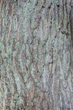 橡木吠声树背景 免版税库存图片