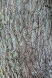 橡木吠声树背景 免版税库存照片