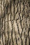 橡木吠声 免版税图库摄影