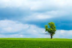 橡木和天空 库存图片