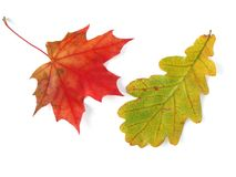 橡木和槭树叶子 免版税库存图片